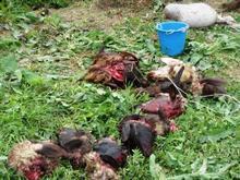 Ջրառատ համայնքում գայլերի հարձակումից անկել է 36 ոչխար