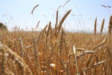 Շիրակի մարզի Ախուրյանի ևԱնիի ներքին գոտիներում մեկնարկել են հացահատիկի բերքահավաքի աշխատանքները